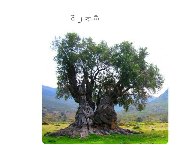 أجزاء شجرة الزيتون by rania khoury
