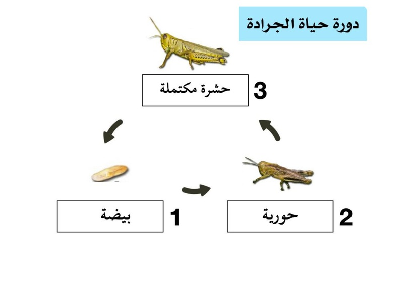 دورة حياة الحشرات by Moudhi Alotaibi