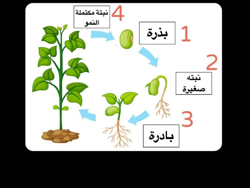 رتب مراحل نمو النبات by Moudhi Alotaibi