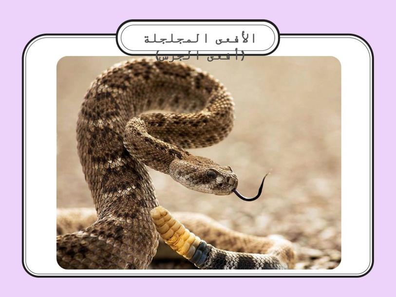 أفعى الجرس  by rahaf mbarak