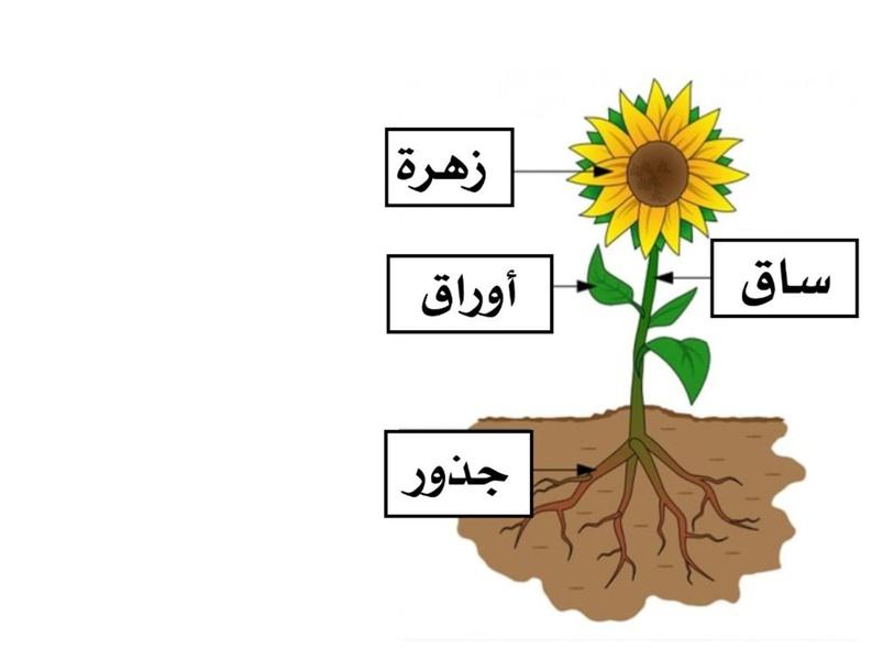أجزاء النبات by Moudhi Alotaibi