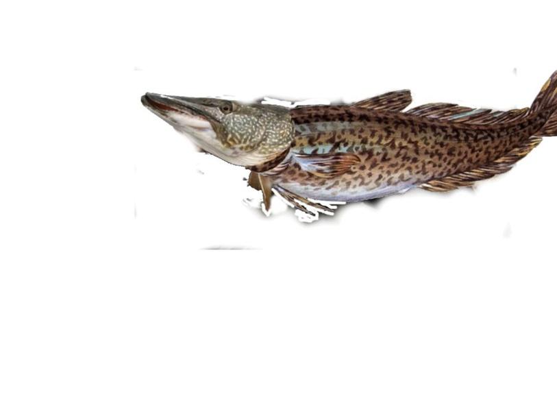 clik the fish  by petter wik gyllensten