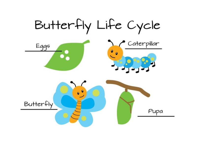 butterfly lifecycle by Kristin Cresswell